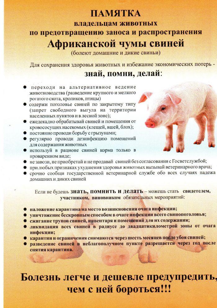 Африканская чума свиней: признаки, симптомы, профилактика