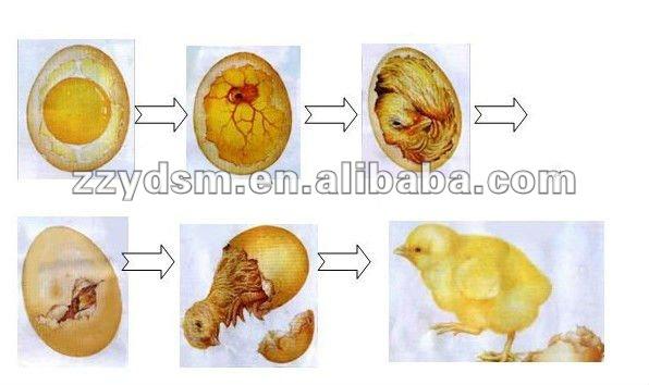 Как развивается цыпленок в яйце — удивительное зрелище!