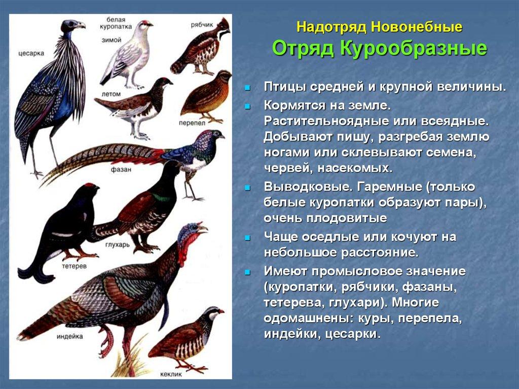 Фазан обыкновенный: описание и породы фазанов, разведение и потомство, как выглядит самец и самка