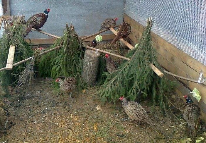 Чем кормить птенцов диких фазанов. кормление фазанов в домашних условиях: нормы, режим