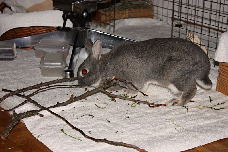 Ветки деревьев для кроликов: какие можно какие нет