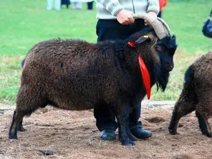 Орловская пород коз: подробности для козоводов - основные характеристики, условия содержания и разведения
