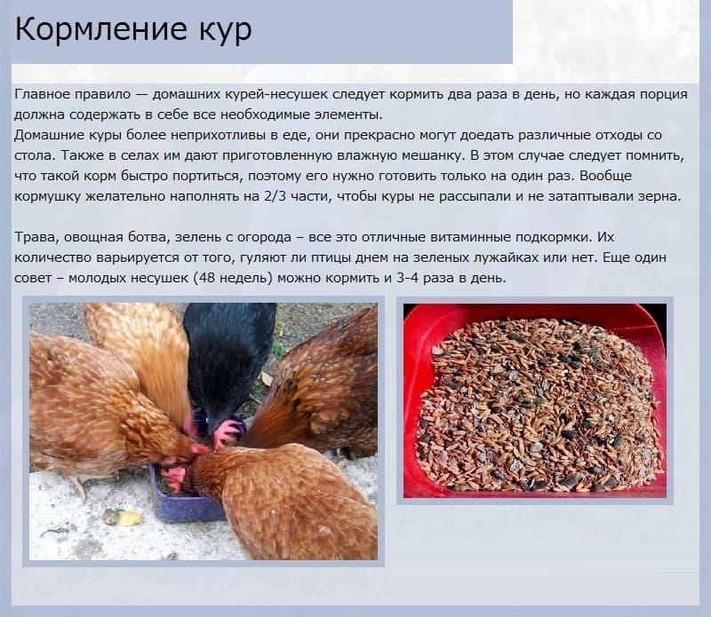 Сколько яиц несет курица в день, в месяц, в год и как увеличить показатель яйценоскости?