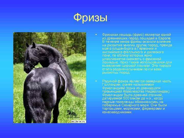 Фризская лошадь: описание породы, фото, видео