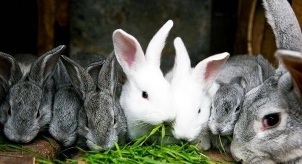Можно ли давать кроликам помидоры, ботву от моркови, свеклы, сырую картошку?