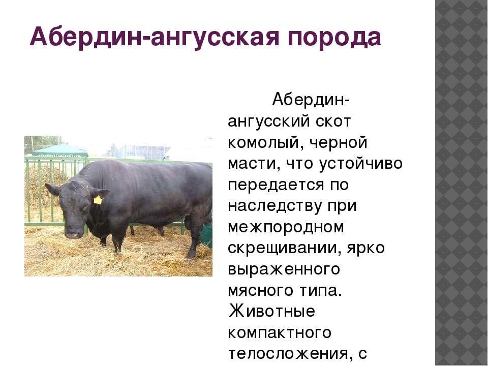 Характеристики абердин ангусской породы коров , советы