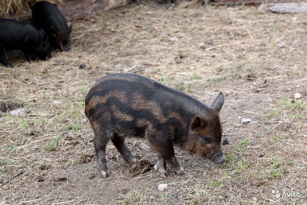 Все о породе свиней кармал: описание, характеристики, особенности выращивания