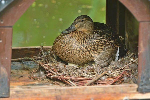Как долго и сколько яиц высиживают утки разных пород