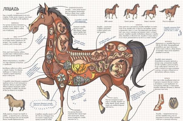 Курсовая работа: экстерьер и конституция лошади