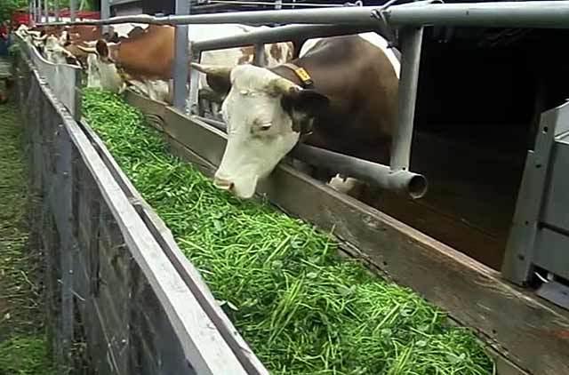 Сколько сена надо быку на зиму, отличия зимнего рациона.