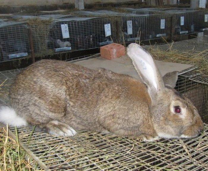 Бельгийские великаны — кролики фландр