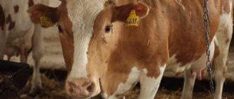 Что такое яловая корова. яловая корова: что это значит, причины и меры борьбы