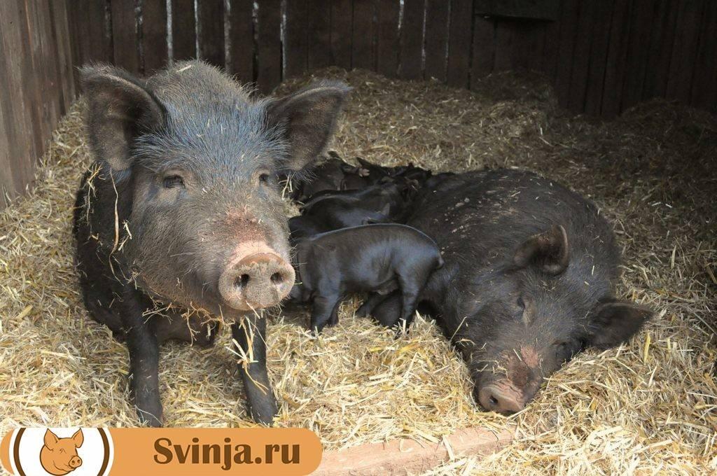 Все о разведение свиней кармалы