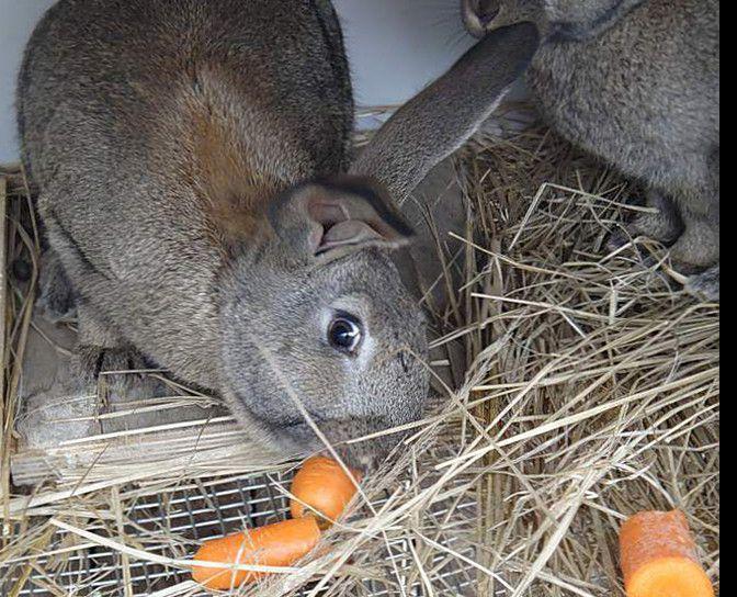 Веточные корма для кроликов.