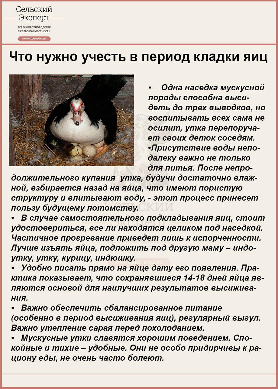 Как посадить утку на яйца? поиск и подготовка наседки