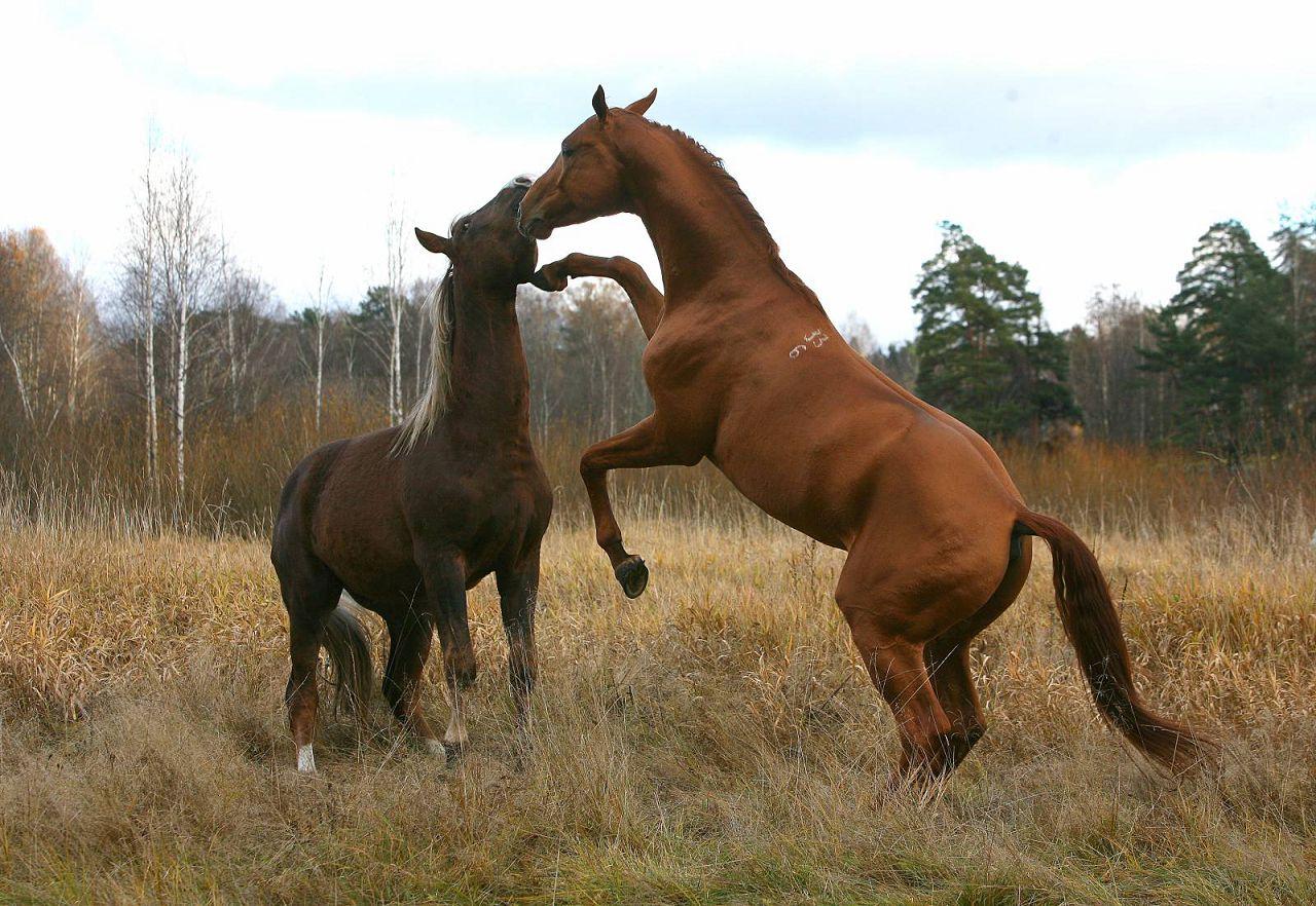 Спаривание лошадей: методы спариванияи и подготовка к процессу