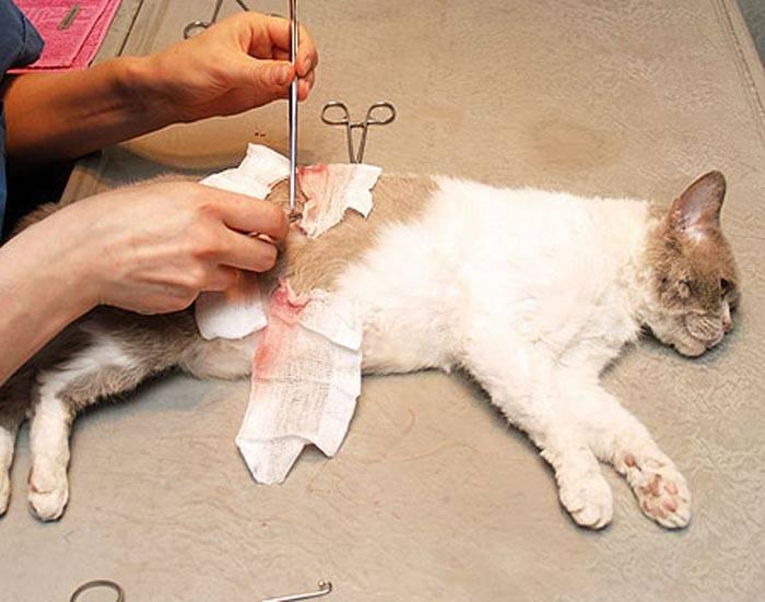 Кастрация (стерилизация) кроликов – важные вопросы