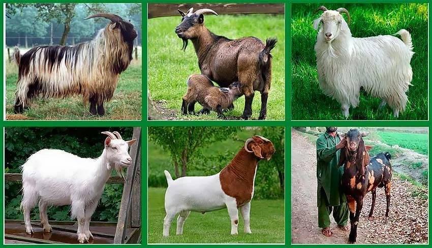 Коза которая дает много молока. какие бывают породы коз молочного направления без запаха. общие «альпийские» черты