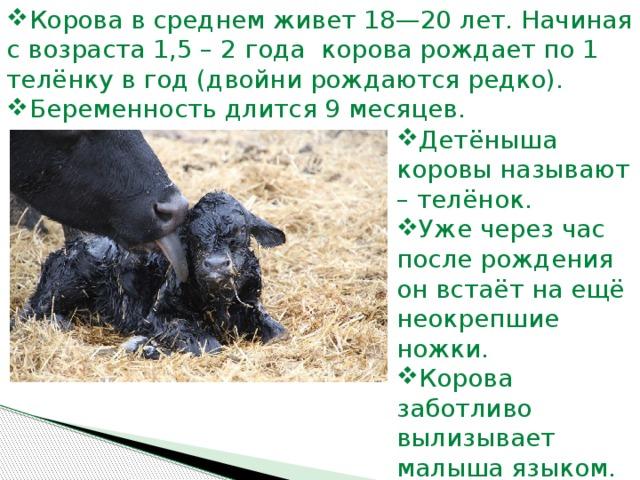 Подготовка к родам: сколько дней корова вынашивает теленка?