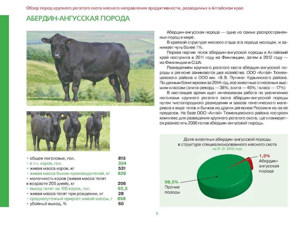 Абердин ангусская порода коров: описание крс и особенности содержания шортгорнских бычков