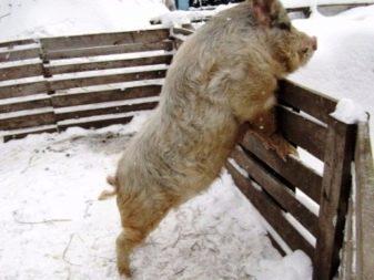 Кармалы: преимущества породы, правила разведения свиней, профилактика возможных заболеваний