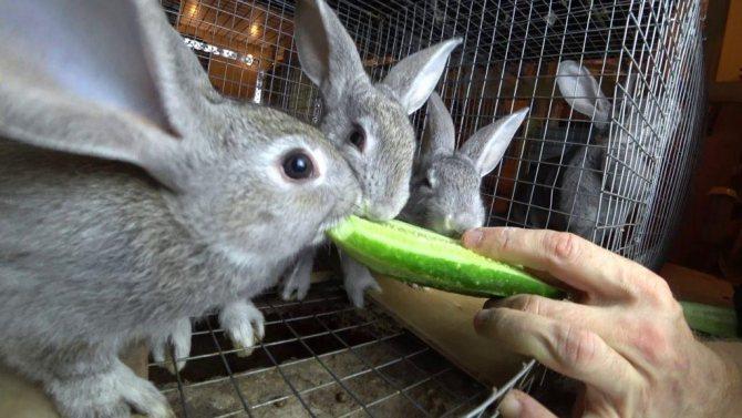 Можно ли давать подорожник кроликам, в каком виде и каких количествах - гид по огороду