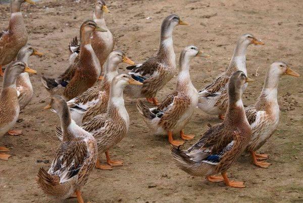 Описание породы башкирская утка, принципы её содержания и разведения в домашних условиях