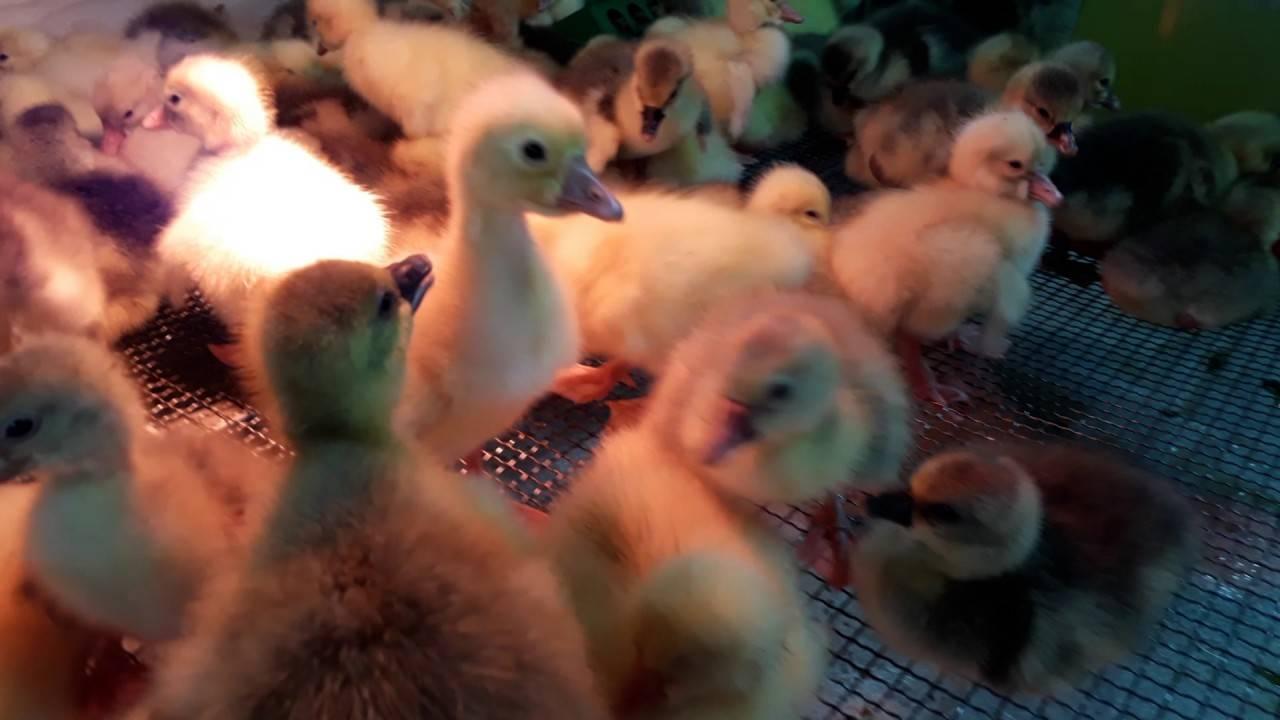 ✅ почему гуси щипают друг у друга и едят перья: причины и способы устранения - tehnomir32.ru