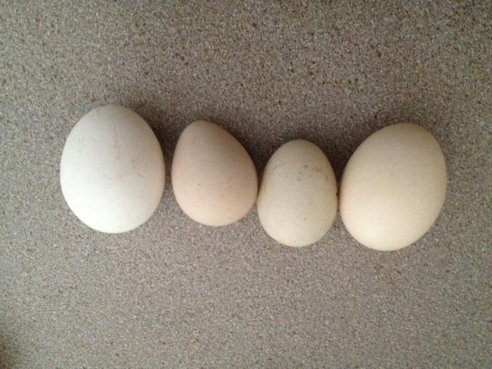 Цесариные яйца: польза и вред, сколько варить