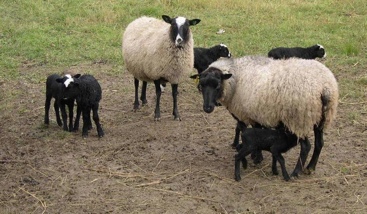 Романовская порода овец: характеристика, особенности, уход