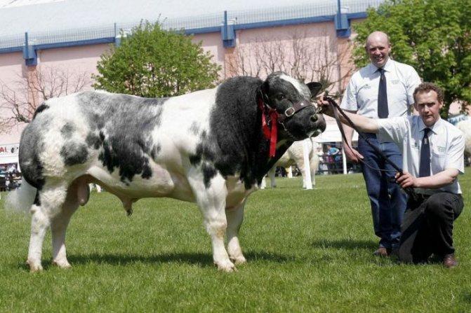 Бельгийские голубые коровы - мускулистая порода