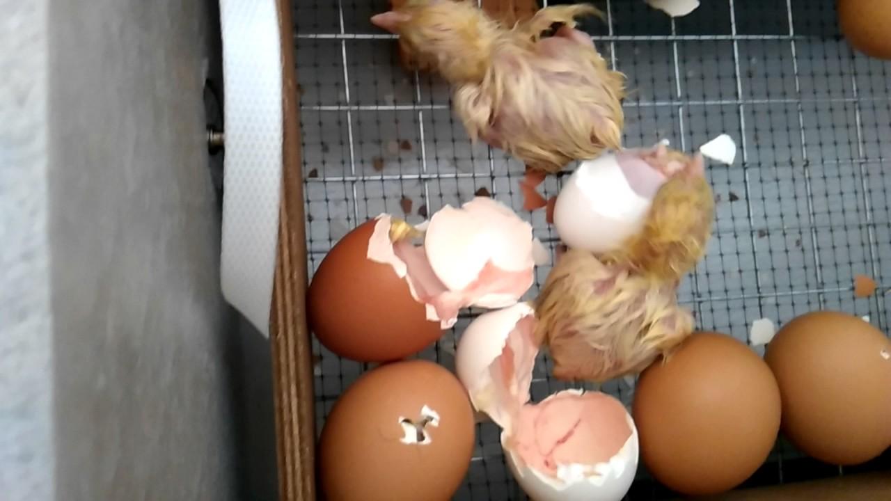 Вылупление цыплят в инкубаторе