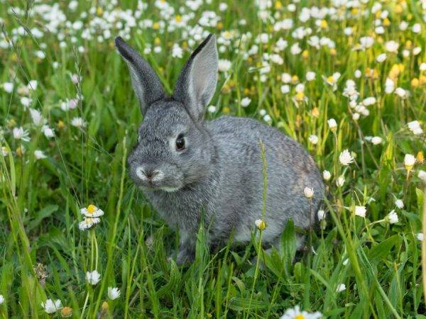 Кролики советская шиншилла: преимущества и недостатки, бизнес на разведении — 2020