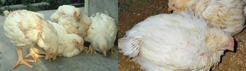 Непередающиеся болезни цыплят бройлеров: симптомы и их лечение