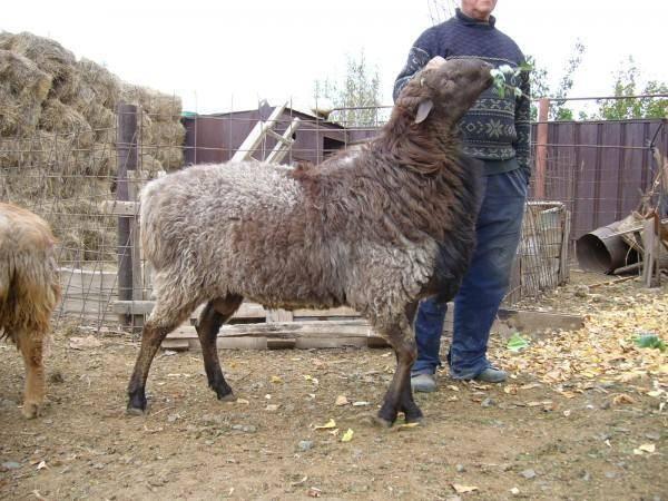 Эдильбаевская порода овец. отзывы, описание фото и видео