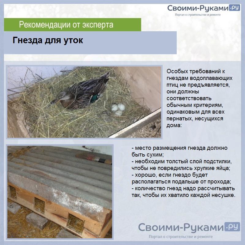 Домашняя утка: фото, видео, описание, содержание в домашних условиях
