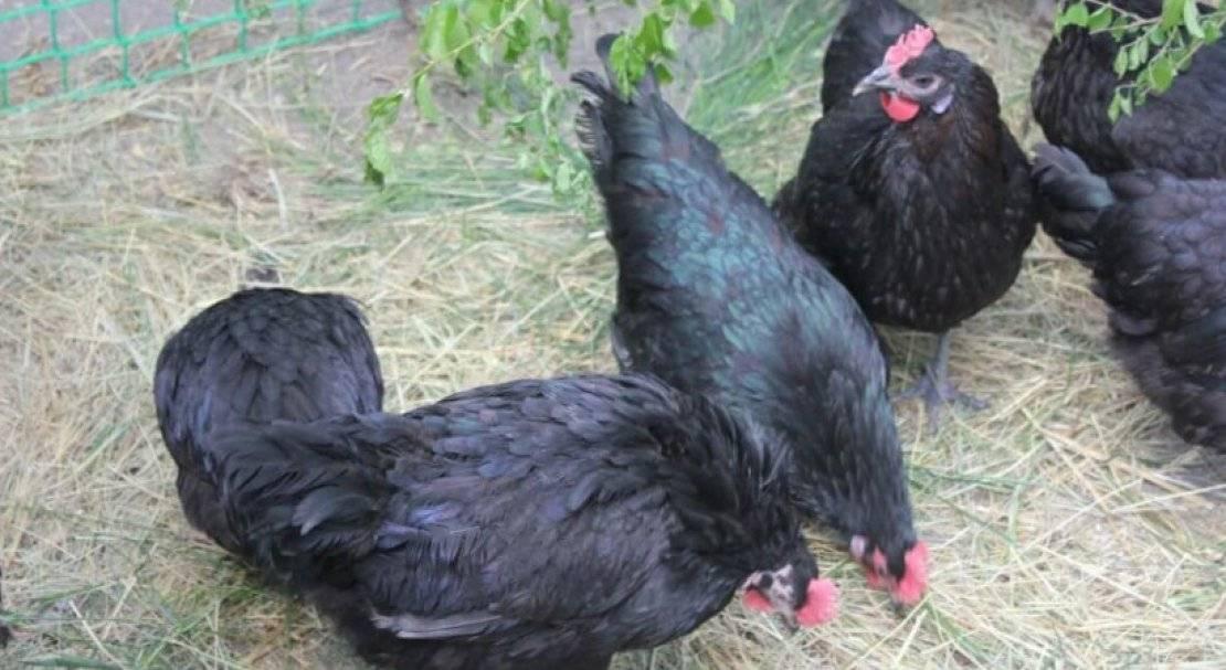 Московская черная порода кур: описание и основные характеристики