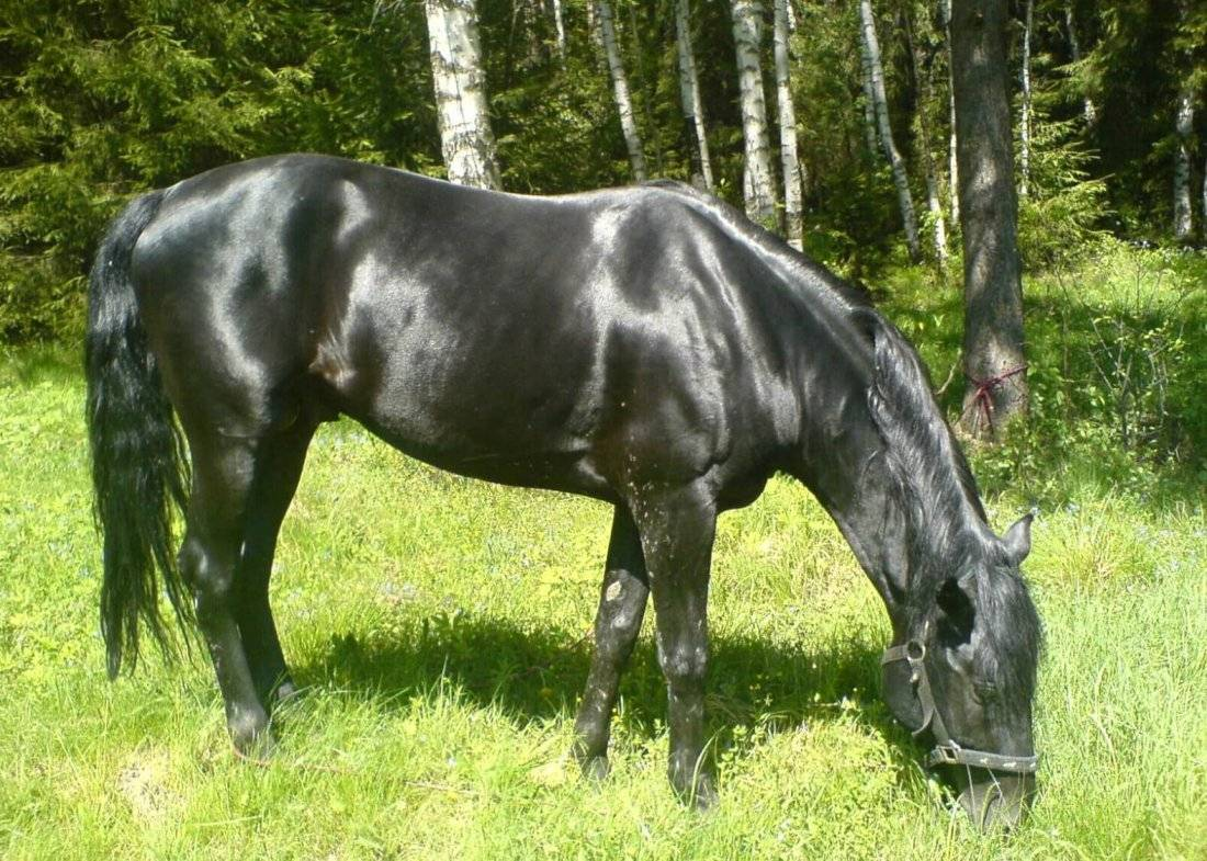 Кабардинская и карачаевская порода лошадей отличия - рыболовный караван