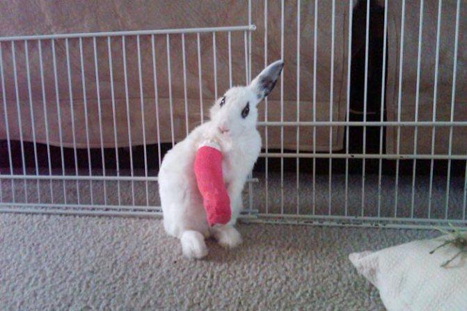 У кролика отказали задние лапы: что делать?