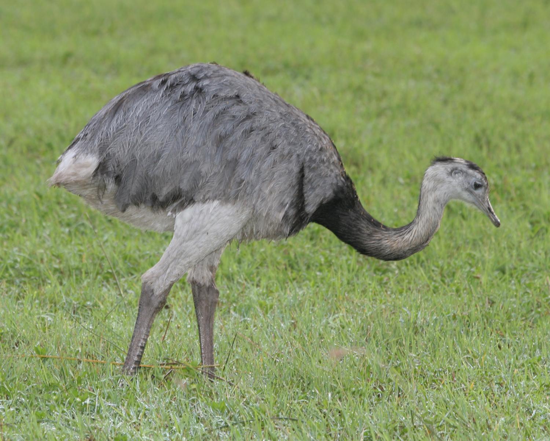 Нанду – полное описание американского «страуса»