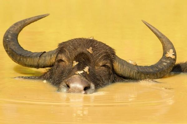 Водяной буйвол (азиатский, индийский): описание, особеннсти