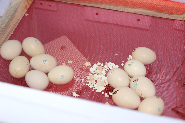 Вылупление цыплят: время или температура для вылупления в инкубаторе в домашних условиях, что делать после этого и когда кормить