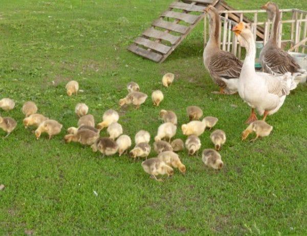 Разведение гусей – справится даже новичок! подходящие породы и правила содержания