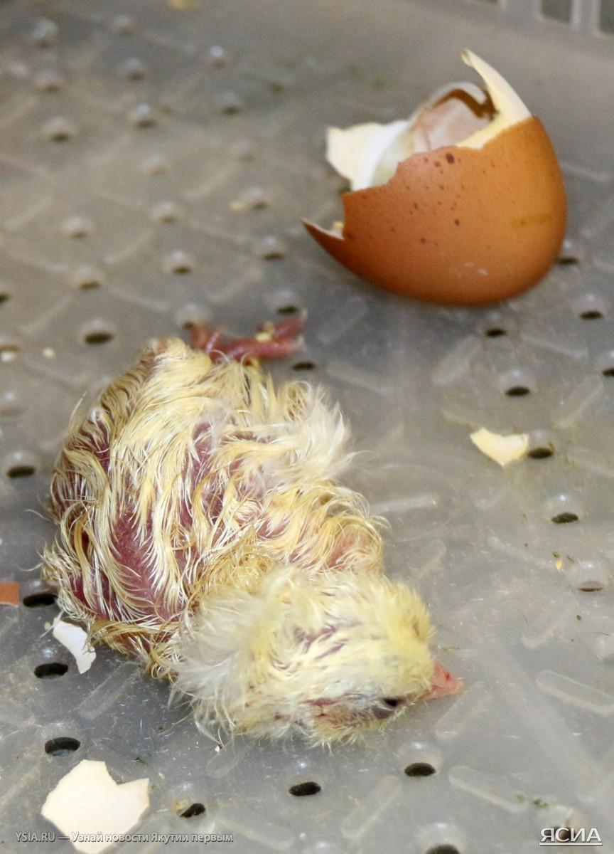 Как происходит вылупление цыплят?