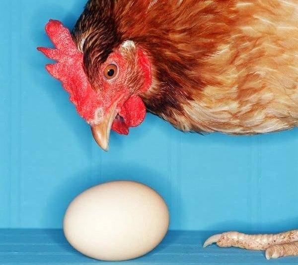 Почему куры выщипывают друг у друга перья и их едят что делать