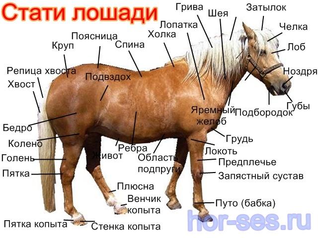 Общая анатомия лошади - все о суставах