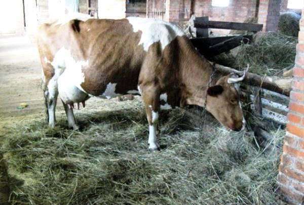 ᐉ отел (роды) у коровы: признаки и календарь - zooon.ru