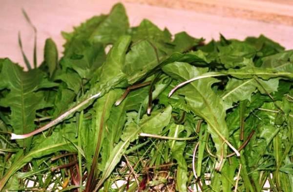 Можно ли давать кроликам сныть: польза или вред, как правильно кормить травой?