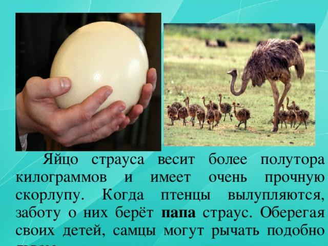 Какой вес бывает у страусов? сколько растет и весит страус, сколько во взрослом страусе мяса.