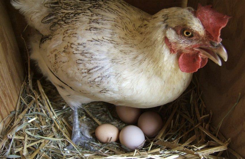 Если домашние куры клюют яйца: что делать и как отучить